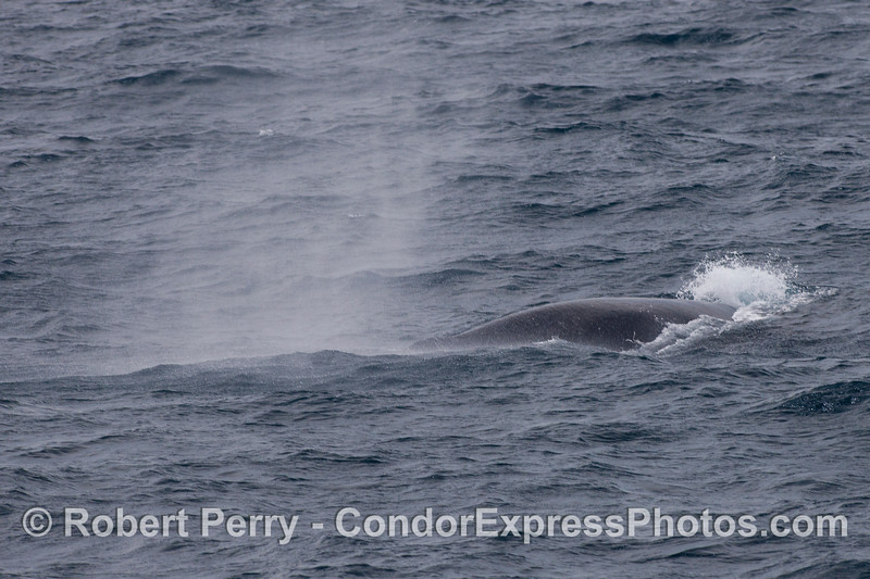 Smoke on the water.  A Humpback Whale (<em>Megaptera novaeangliae</em>) spouts in the wind.