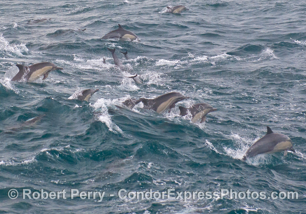 Common Dolphins (<em>Delphinus capensis</em>) starting to launch out of a passing wave.