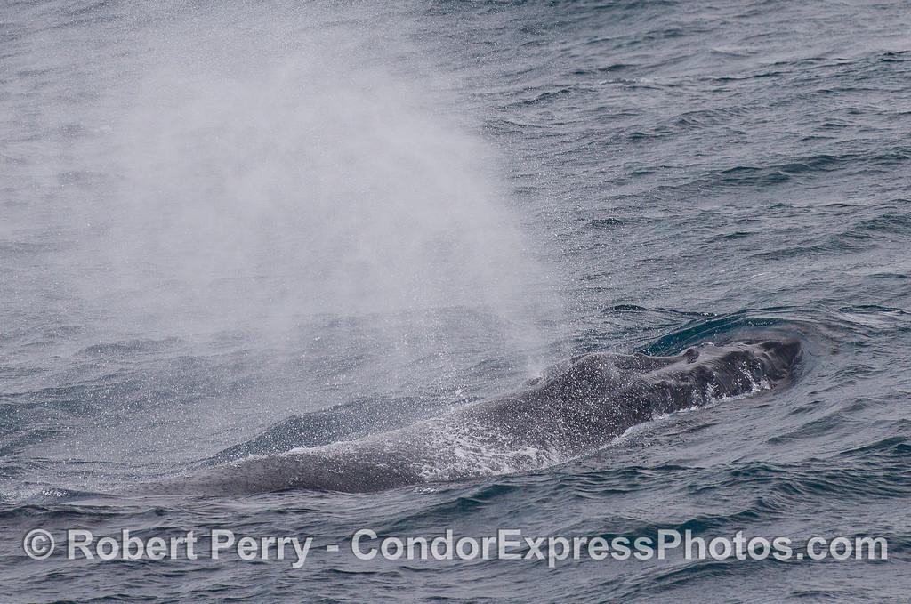 Mighty blast from a Humpback Whale (<em>Megaptera novaeangliae</em>).