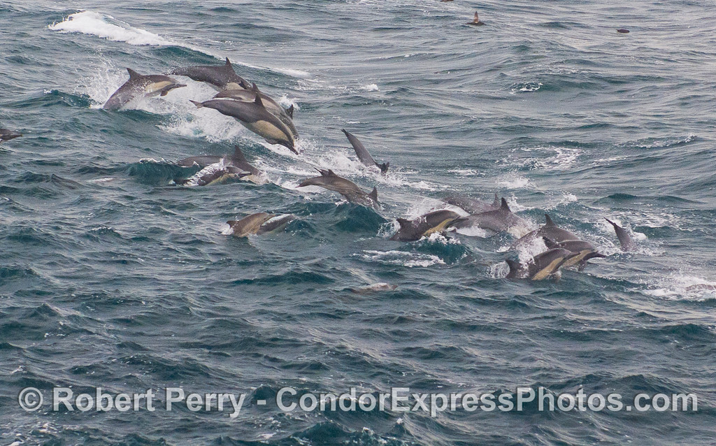 Common Dolphins (<em>Delphinus capensis</em>) leaping over the waves.