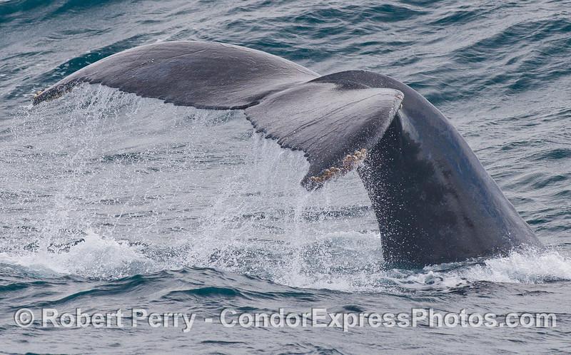 The quintessential Humpback Whale (<em>Megaptera novaeangliae</em>) tail.