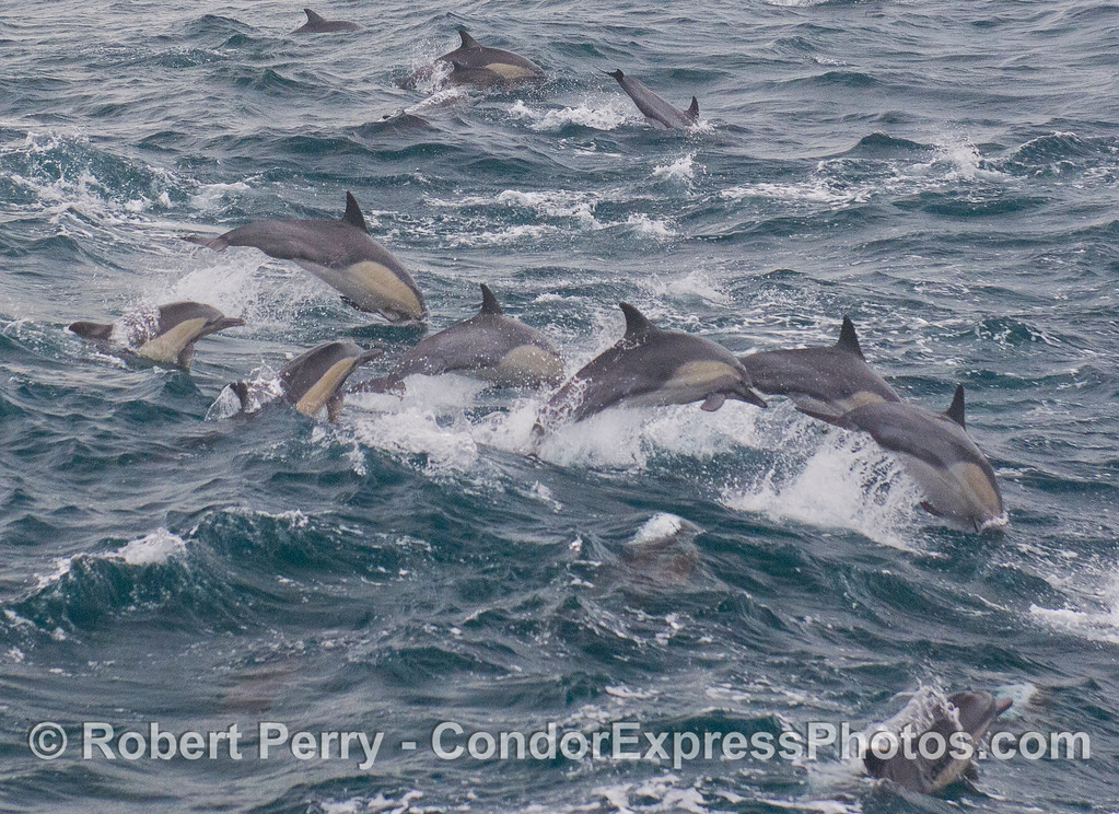 Synchronized leaping - Common Dolphins (<em>Delphinus capensis</em>).