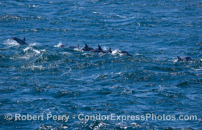 Delphinus capensis 2011 08-28 SB Channel b - 021