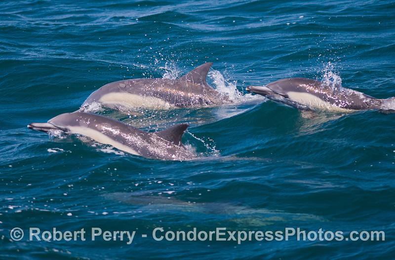 Delphinus capensis 2011 08-28 SB Channel b - 012