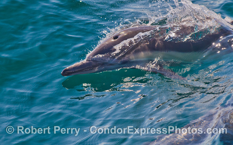 Delphinus capensis 2011 08-28 SB Channel - 015