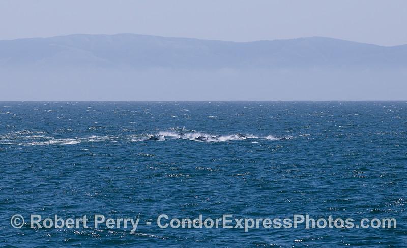 Delphinus herd racing in distance 2011 08-28 SB Channel - 013