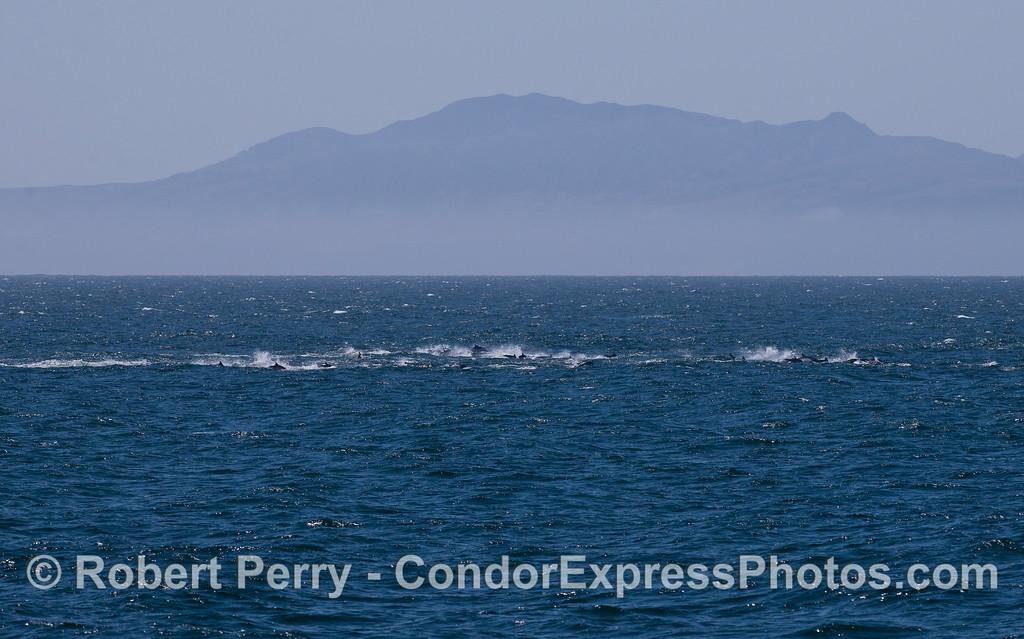 Delphinus herd racing in distance 2011 08-28 SB Channel - 001