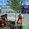Ian Hoag, left , and Bob Elmore with City of Prince George plant an elm tree at the corner of 1st Avenue and Quebec Street Wednesday morning. The tree repalces a birch that was broken. Citizen photo by Brent Braaten        Aug 3 2011