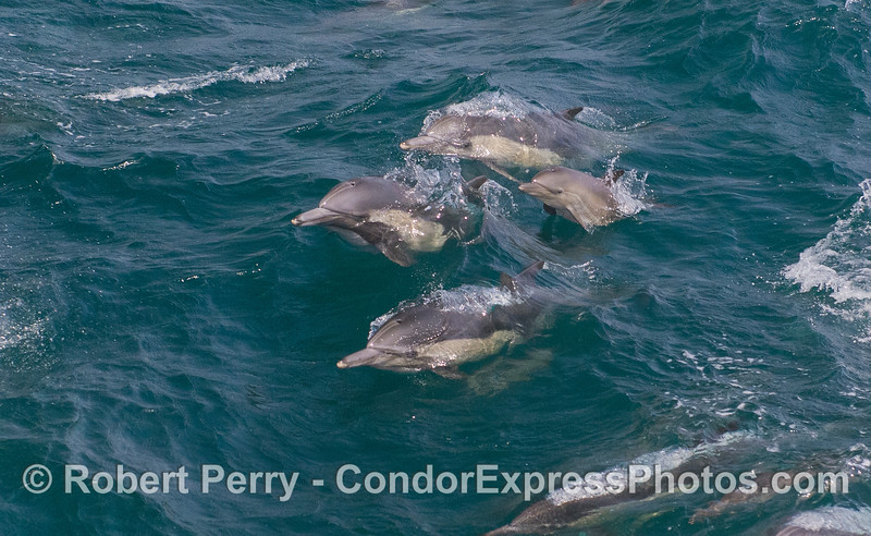 Three adults and one juvenile leap out of the waves in synchrony.