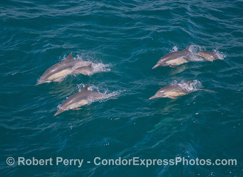 Two juveniles, each escorted by mom and another (female?) dolphin.