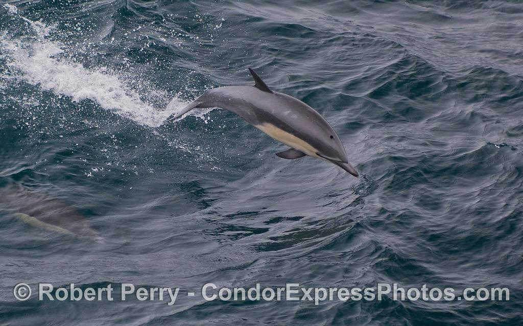 Delphinus delphis 2011 09-14 SB Channel - 323