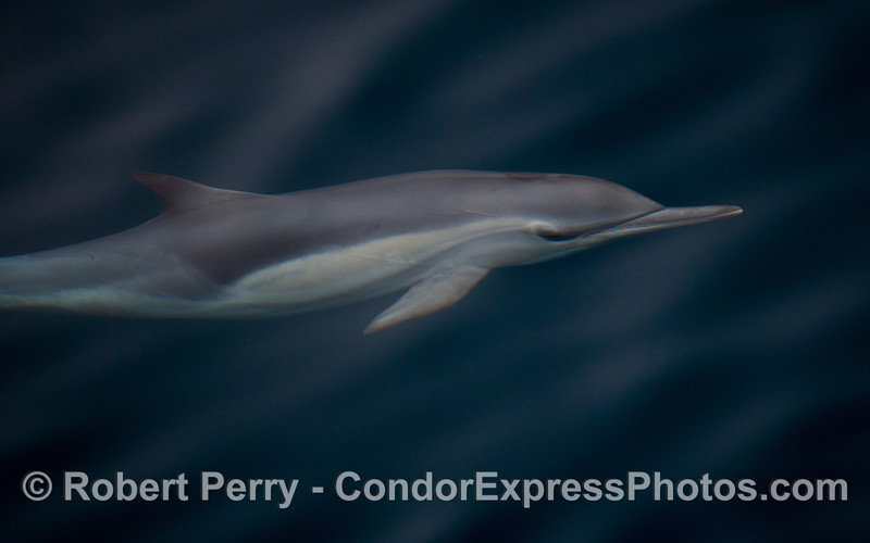 Delphinus capensis 2011 09-14 SB Channel - 072