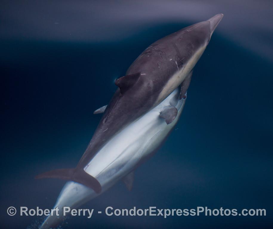 Delphinus capensis MATING 2011 09-14 SB Channel - 013