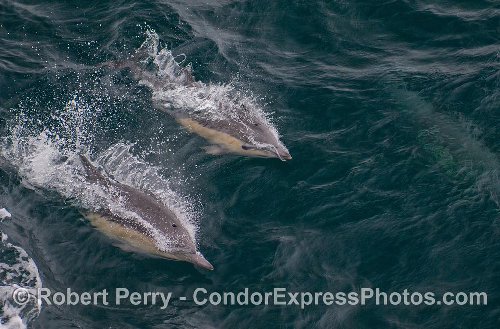 Delphinus delphis 2011 09-14 SB Channel - 264