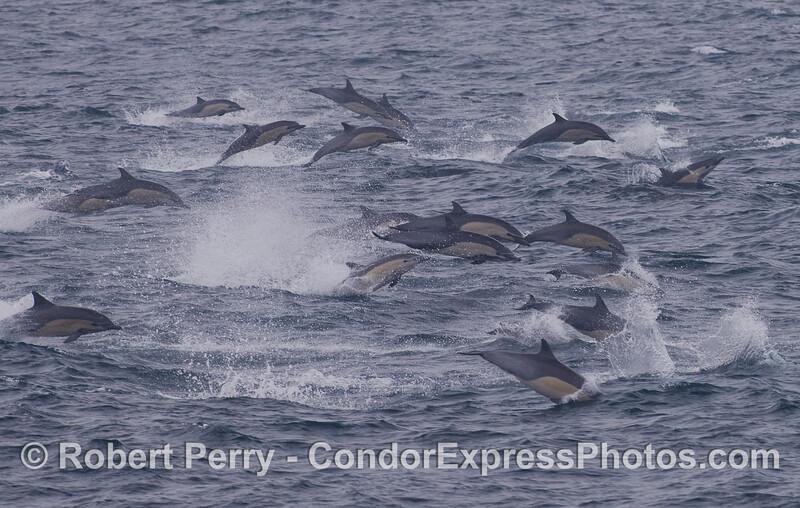 Delphinus delphis 2011 09-14 SB Channel - 074