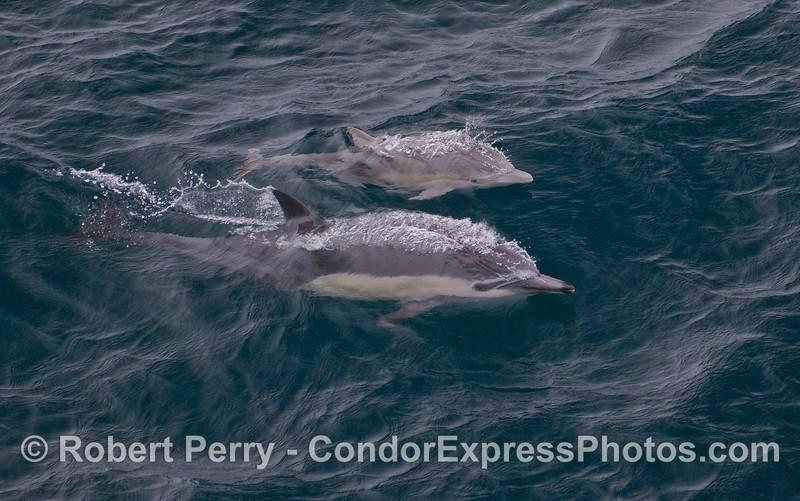 Delphinus delphis cow & calf 2011 09-14 SB Channel - 351