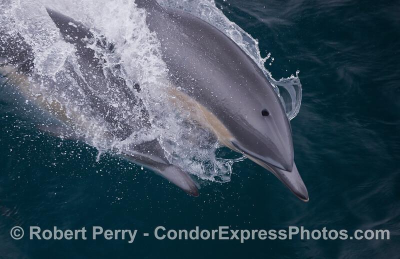 Delphinus delphis 2011 09-14 SB Channel - 057
