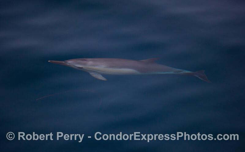 Delphinus capensis 2011 09-14 SB Channel - 010