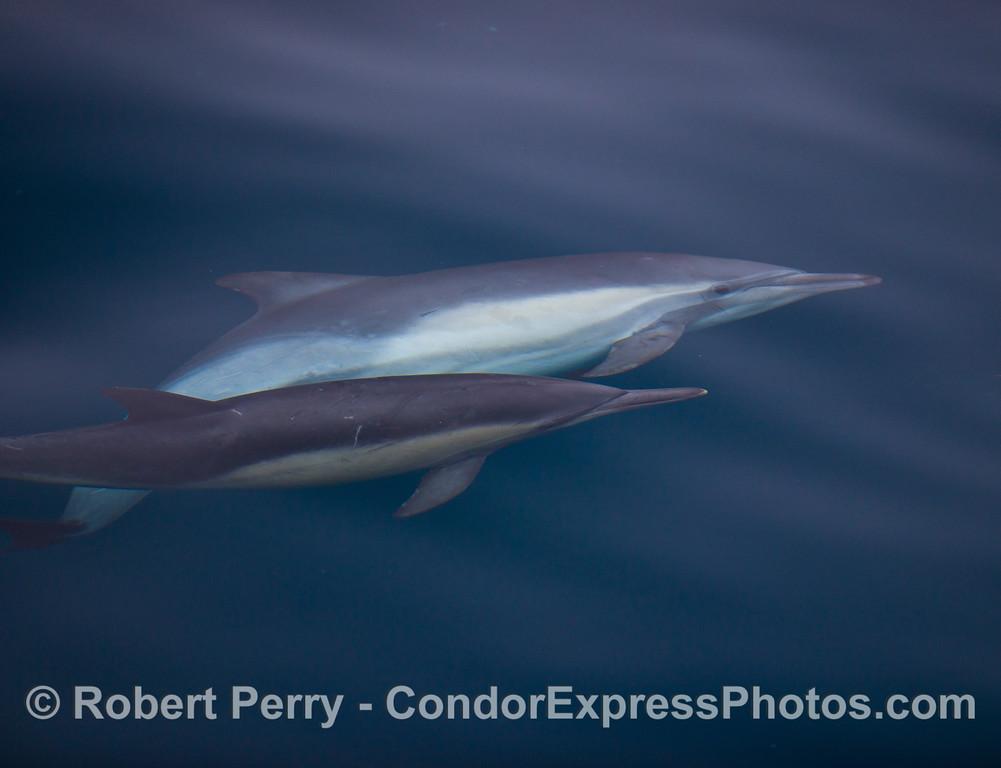 Delphinus capensis MATING 2011 09-14 SB Channel - 022