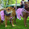 Sharpeis Daisy, left, and Koko, belonging to Ginny Grimshaw, wore their best dresses to the annual Paws for a Cause Sunday. Sept, 12, 2011. Citizen photo by David Mah