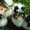 Lexi, left, Duncan, Wynter, and Keelahj, shelties belonging to Tracy Dery, where happy to be at the Paws for a Cause walk. Sept, 12, 2011. Citizen photo by David Mah