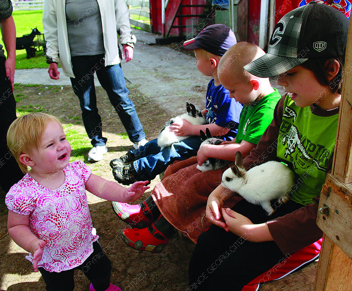 Citizen photo by Chuck Nisbett Paetyn Carter, 1, approaches her brother Eric, 9, as he and brother Zander, 2, (centre) and Sam Giesbrecht, 2, hold a baby rabbits on their laps, while visiting Black Spruce Farms Sunday.