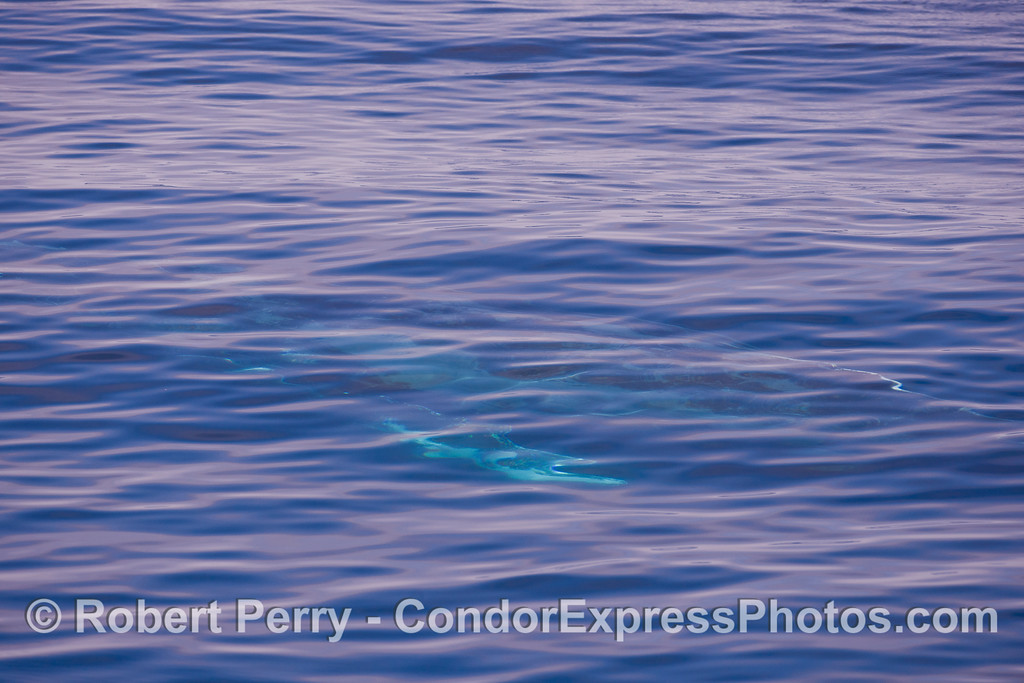 A turquoise Humpback Whale (<em>Megaptera novaeangliae</em>) shines brightly under the clear blue water.