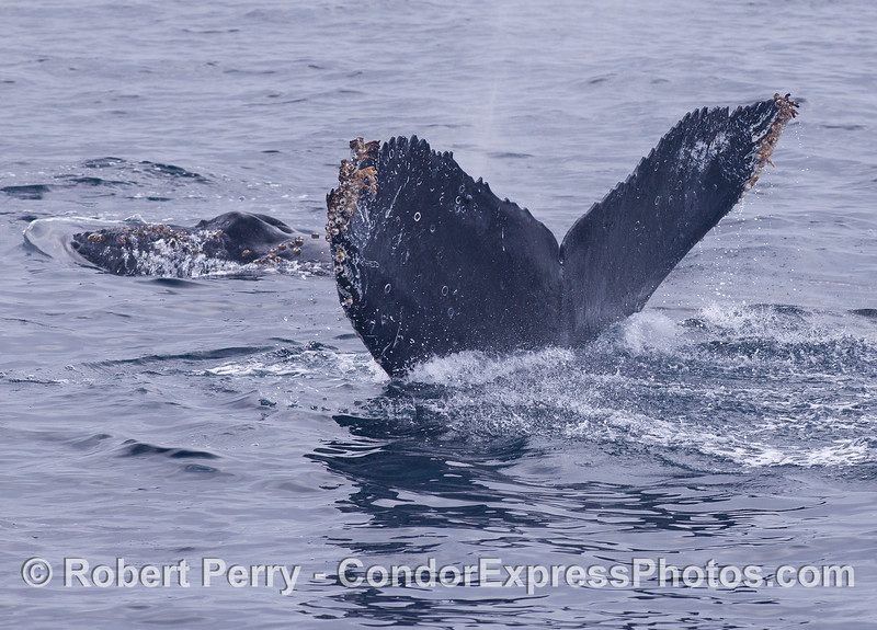 Mother and calf - Humpback Whales (<em>Megaptera novaeangliae</em>).  Mom is fluking up and juniors head is in the background.