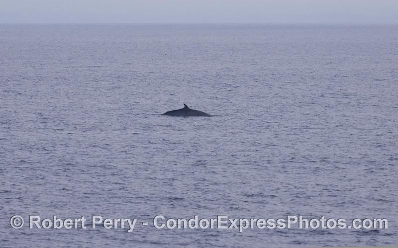 A fleeting glimpse of a Minke Whale (<em>Balaenoptera acutorostrata</em>).
