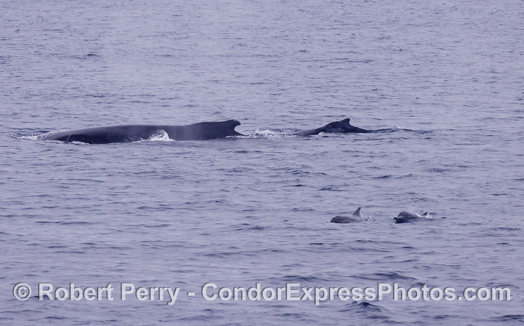 Mother and calf Humpback Whales (<em>Megaptera novaeangliae</em>) and Common Dolphins (<em>Delphinus capensis</em>).