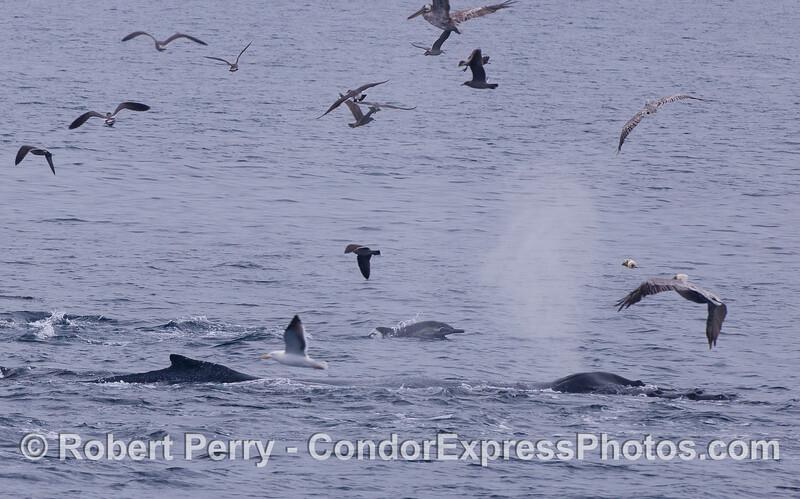 Humpback Whales (<em>Megaptera novaeangliae</em>) attack a bait ball accompanied by a Common Dolphin (<em>Delphinus capensis</em>) and a variety of feeding birds, mostly Brown Pelicans (<em>Pelecanus occidentalis</em>).