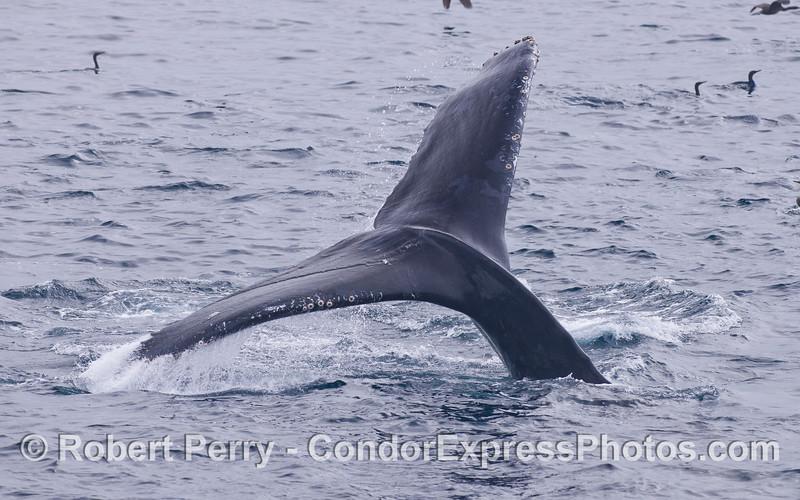 Tail fluke of a Humpback Whale (<em>Megaptera novaeangliae</em>).