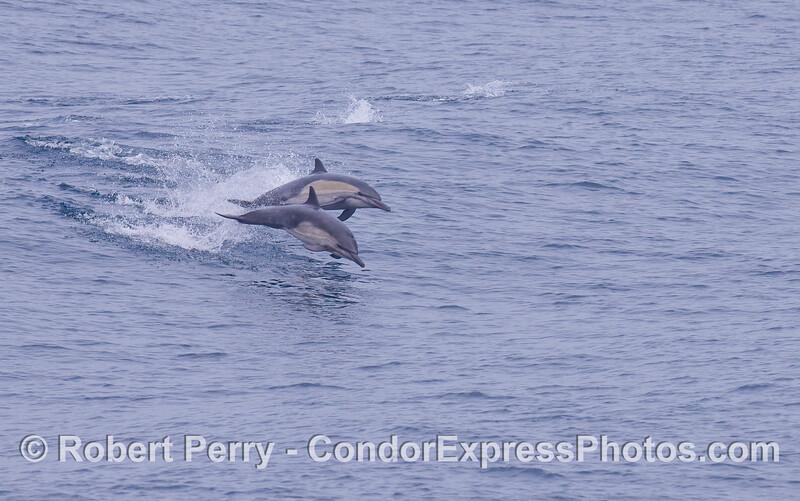 Two leaping Common Dolphins (<em>Delphinus capensis</em>).