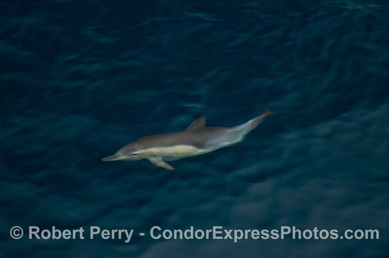 A curious Common Dolphin (<em>Delphinus capensis</em>) takes a look from beneath the crystal clear water.