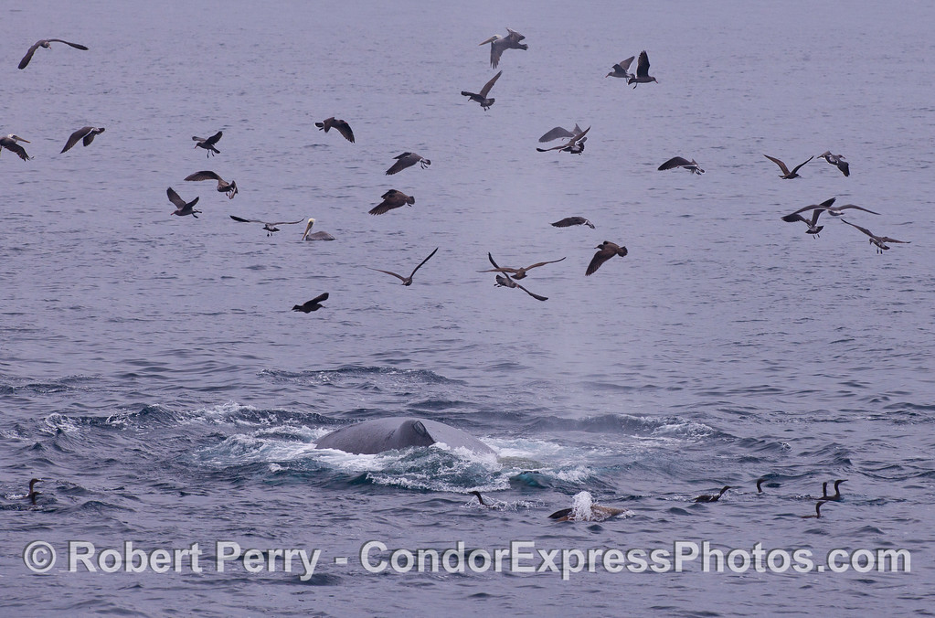 A Humpback Whale (Megaptera novaeangliae) joins the birds at the feeding spot.