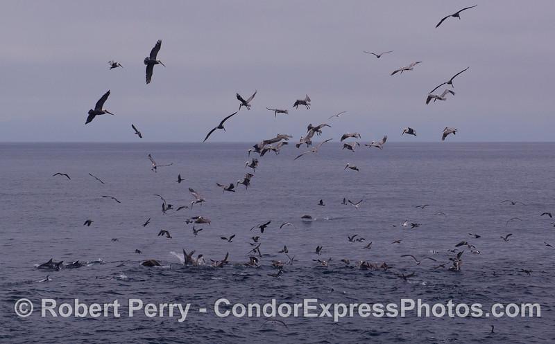 Common Dolphins (<em>Delphinus capensis</em>) and a variety of feeding birds, mostly Brown Pelicans (<em>Pelecanus occidentalis</em>) attack a ball of bait.