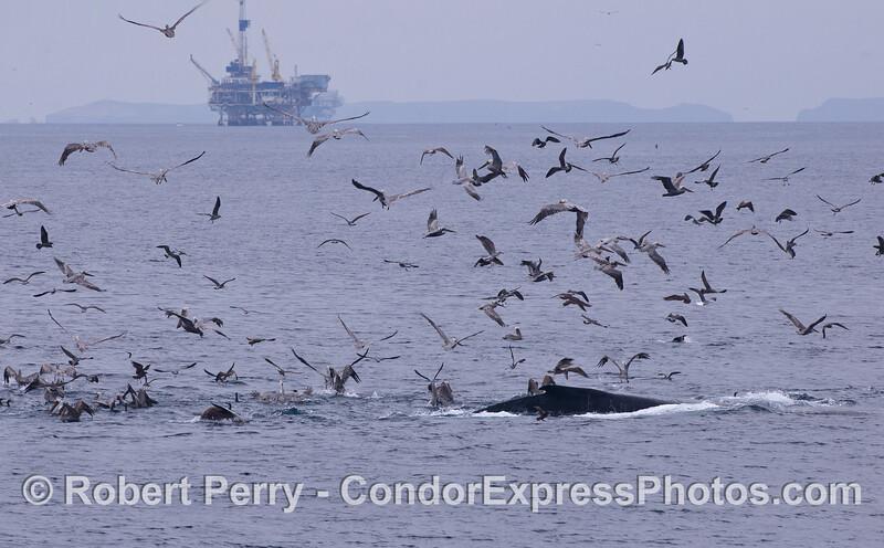 A Humpback Whale (<em>Megaptera novaeangliae</em>), a variety of feeding birds, mostly Brown Pelicans (<em>Pelecanus occidentalis</em>), and a California Sea Lion (<em>Zalophus californianus</em>) attack a ball of bait.  Platform Gina and East Anacapa Island are in the background.