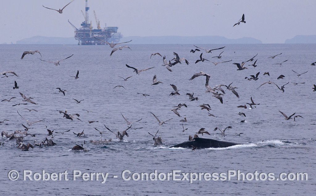 A Humpback Whale (Megaptera novaeangliae), a variety of feeding birds, mostly Brown Pelicans (Pelecanus occidentalis), and a California Sea Lion (Zalophus californianus) attack a ball of bait.  Platform Gina and East Anacapa Island are in the background.
