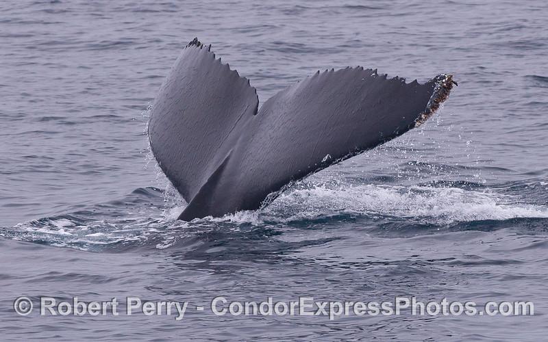 Humpback Whale (<em>Megaptera novaeangliae</em>) tail.