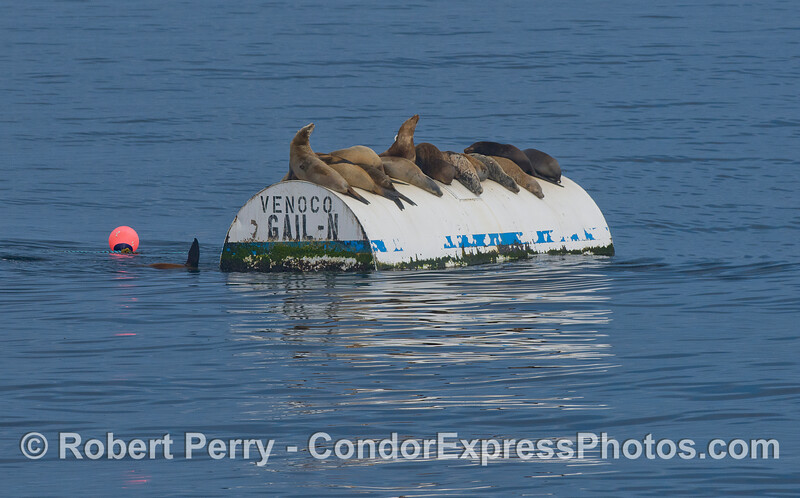 California Sea Lions (<em>Delphinus capensis</em>) hauled out on a mooring can for Platform Gail.