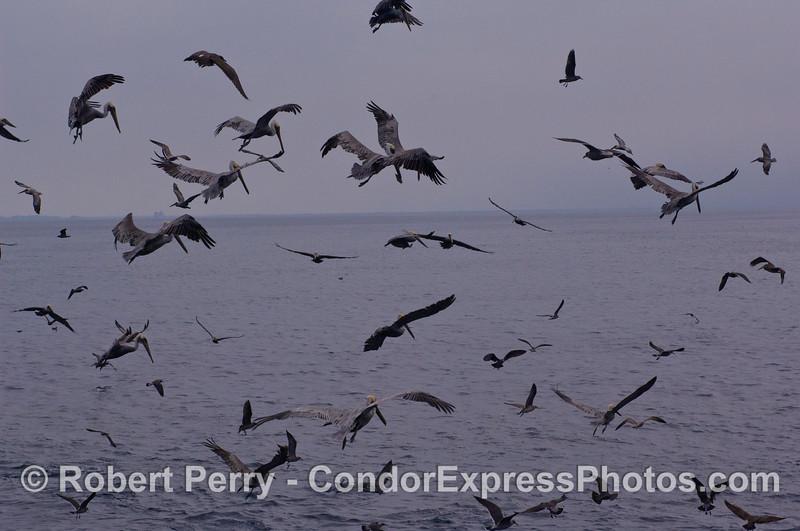 Brown Pelicans (<em>Pelecanus occidentalis</em>) hover and prepare to dive on a bait ball.