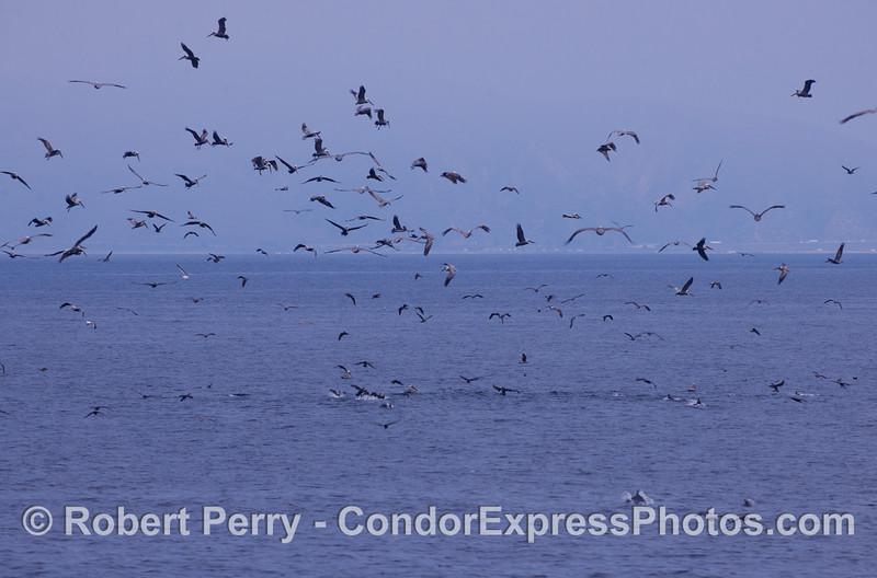 Brown Pelicans (<em>Pelecanus occidentalis</em>) attack a ball of bait.