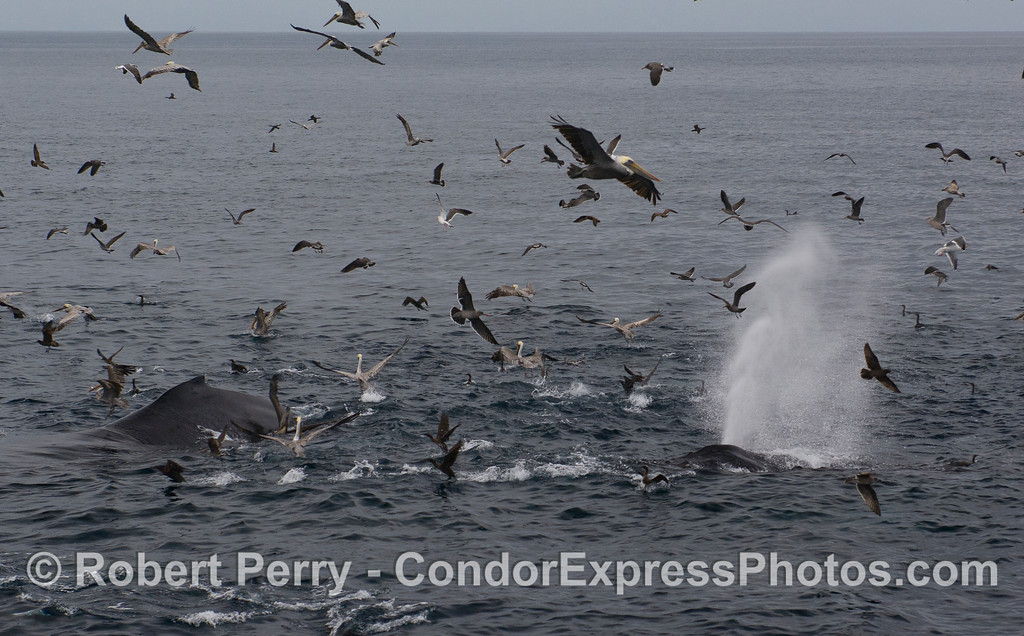 Humpback Whales (Megaptera novaeangliae) attack a bait ball accompanied by a Common Dolphin (Delphinus capensis) and a variety of feeding birds, mostly Brown Pelicans (Pelecanus occidentalis).