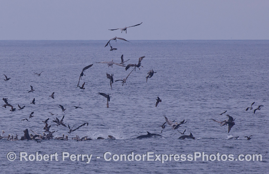 Common Dolphins (Delphinus capensis) and a variety of feeding birds, mostly Brown Pelicans (Pelecanus occidentalis) attack a ball of bait.