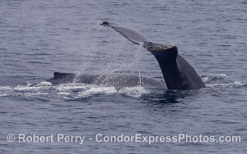 Mother and calf Humpback Whales (<em>Megaptera novaeangliae</em>).