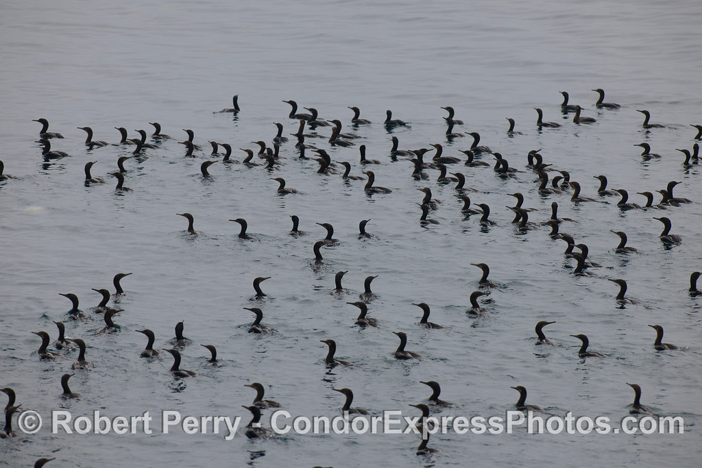 Brandt's Cormorants (<em>Phalocrocorax penicillatus</em>) at the feeding hot spot.