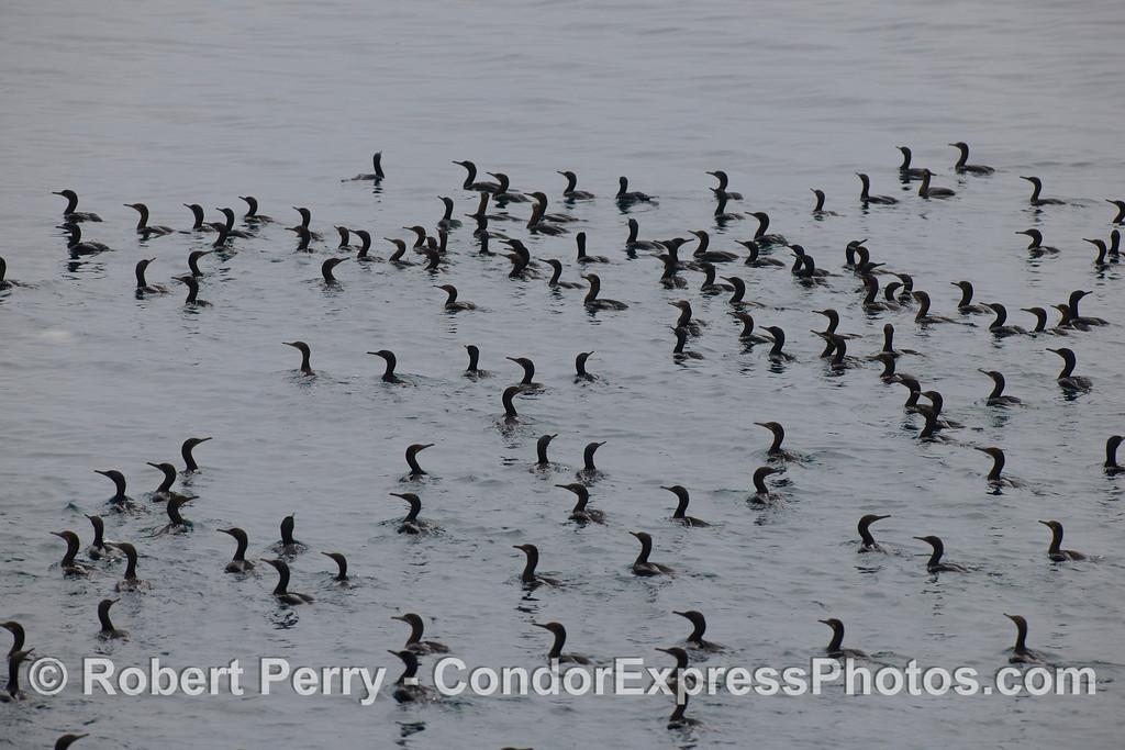 Brandt's Cormorants (<em>Phalocrocorax penicillatus</em>) at the feeding hot spot.