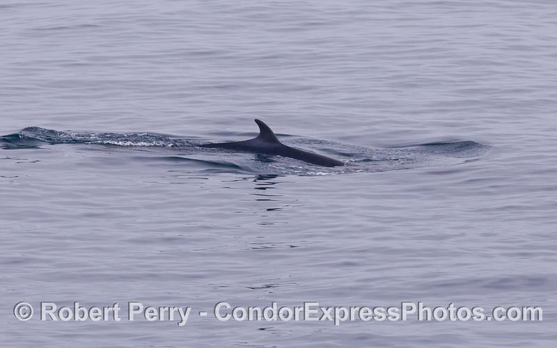 Minke Whale (<em>Balaenoptera acutorostrata</em>).