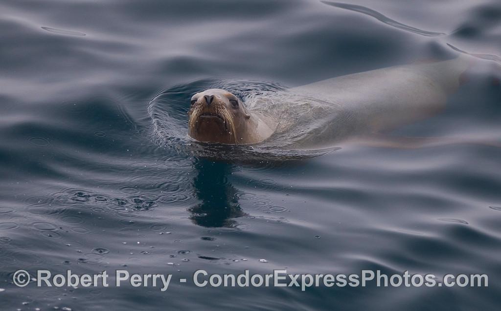 A lone California Sea Lion (<em>Zalophus californianus</em>) takes a look at the camera.