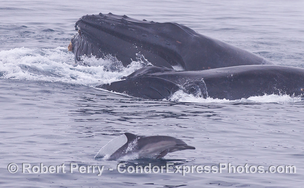 Humpback Whales (<em>Megaptera novaeangliae</em>) and a Common Dolphin (<em>Delphinus capensis</em>).